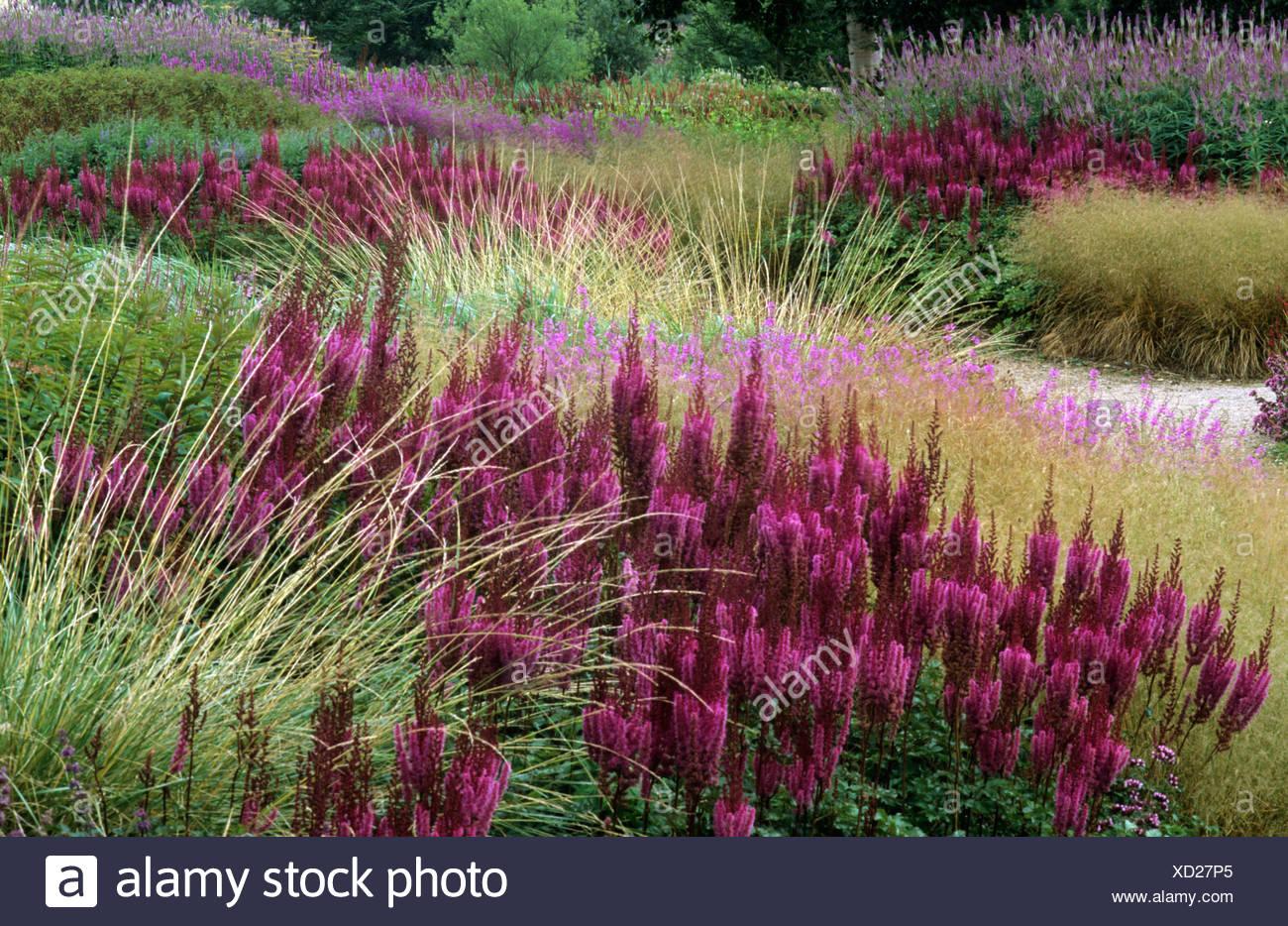 Pensthorpe Millennium Garden Grasses Astilbe Purpurlanze Norfolk