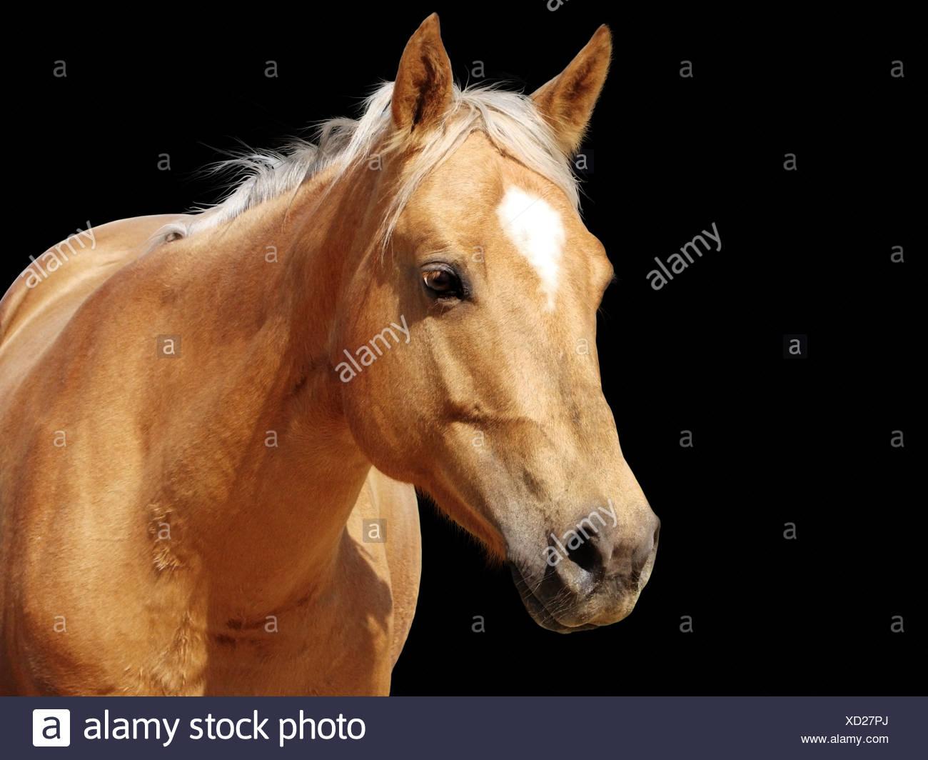 Close Up Golden Palomino Horse Stock Photo Alamy