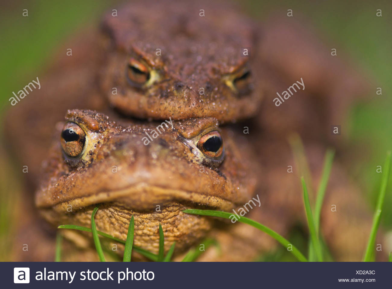 Toads, mating, migration, close-up, - Stock Image