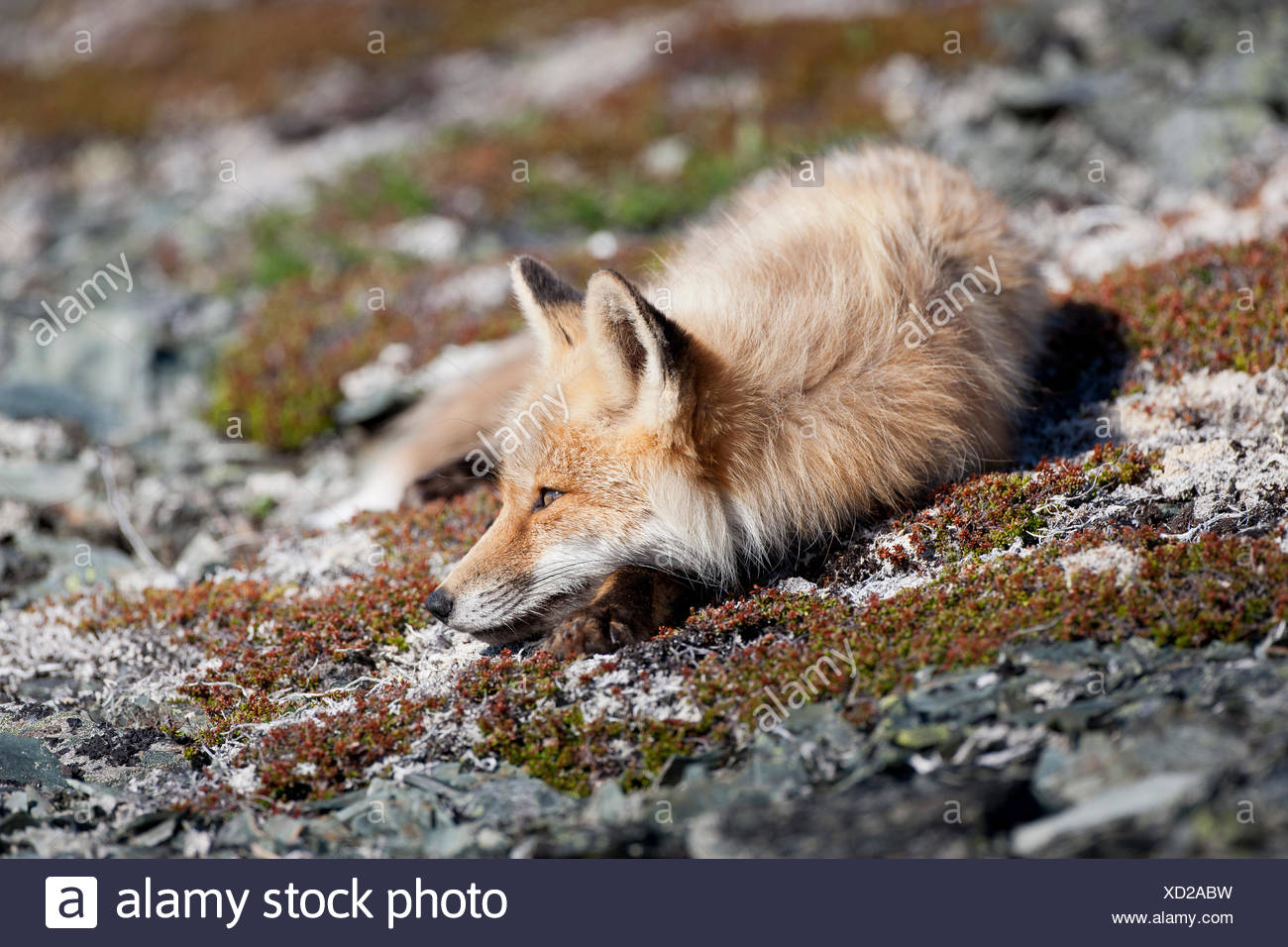 canada goose red fox