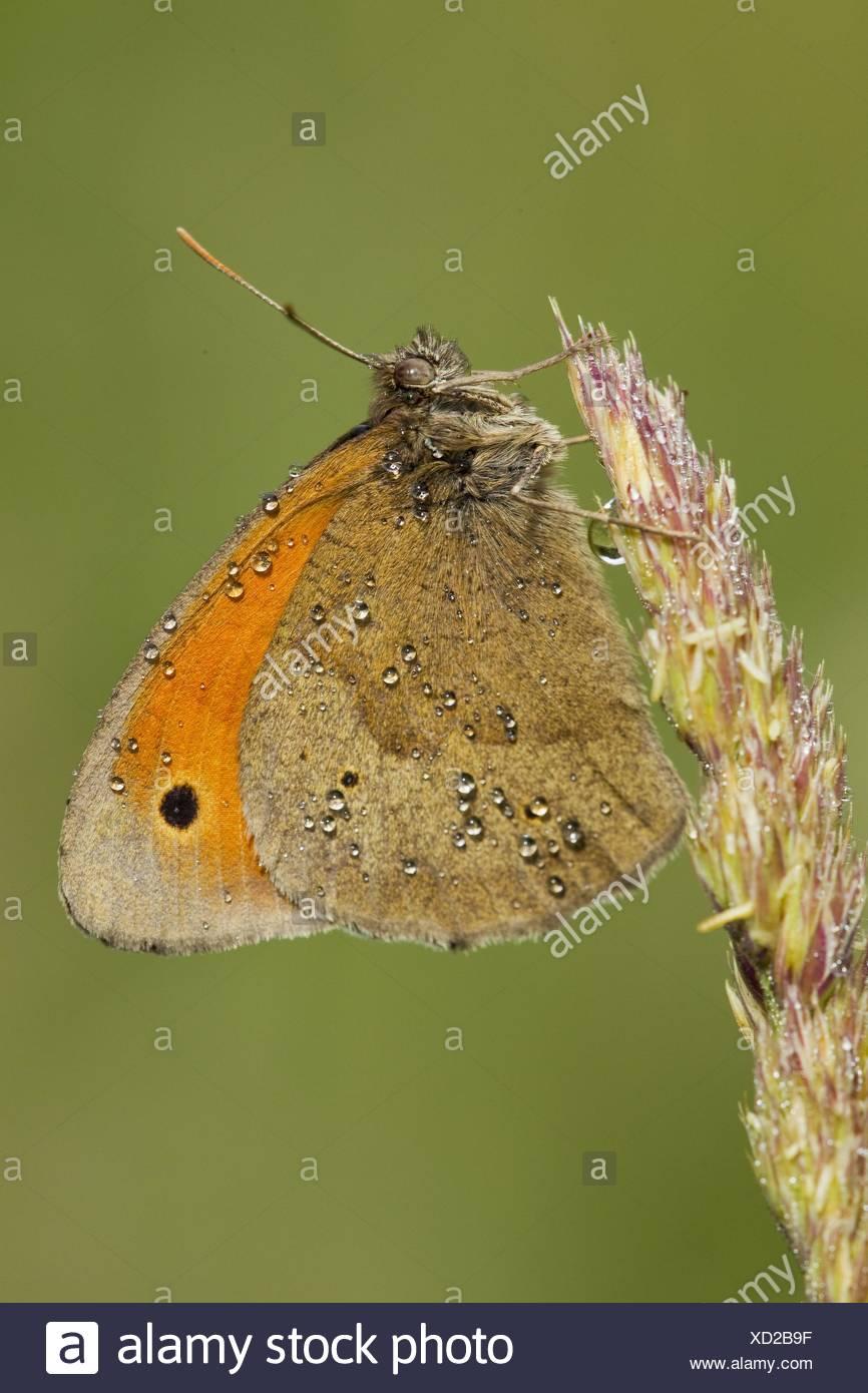 great heath butterfly - Stock Image
