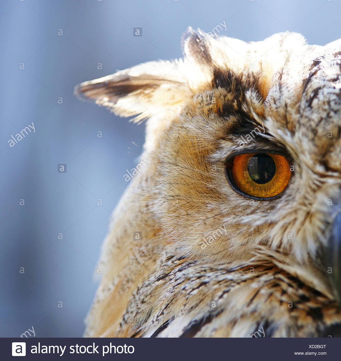 uhu nahaufnahme - eagle-owl - Stock Image