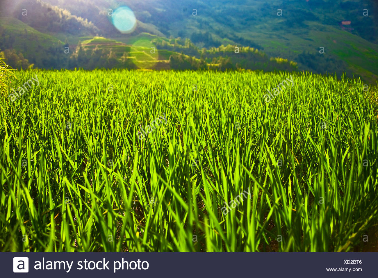 Rice paddy in a field, Jinkeng Terraced Field, Guangxi Province, China - Stock Image