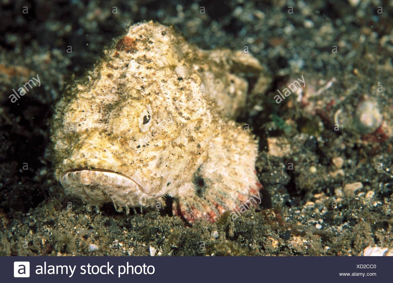 Humpbacked Scorpionfish (Scorpaenopsis gibbosa). Indonesia - Stock Image