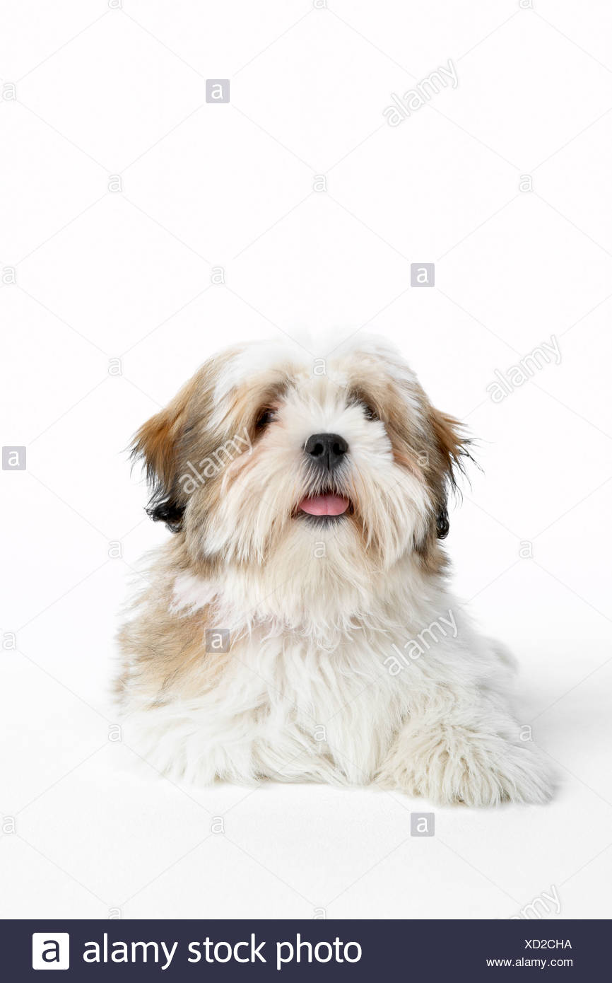 Lhasa Apso Lying Down - Stock Image