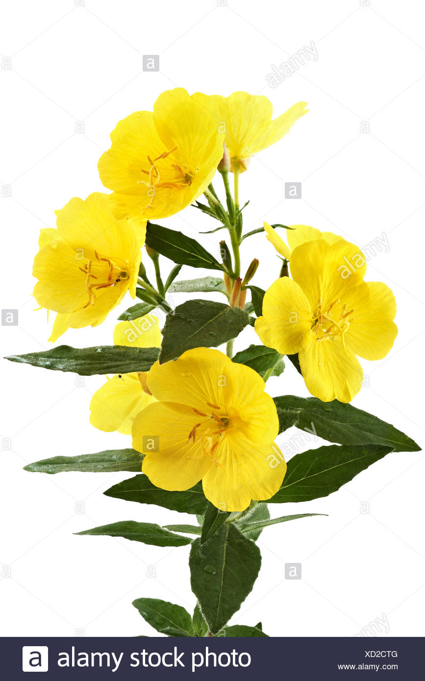 Buttercups - Stock Image