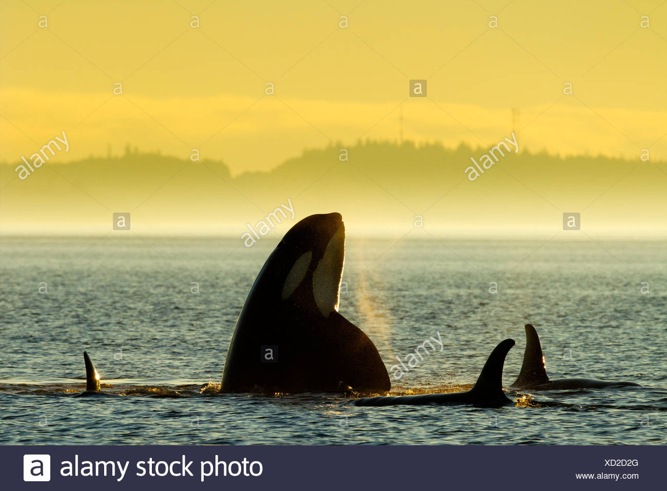 Northern Resident Killer whales playing and spyhopping in front of Alert Bay, Cormorant Island, British Columbia, Canada. Orcinus orca - Stock Image
