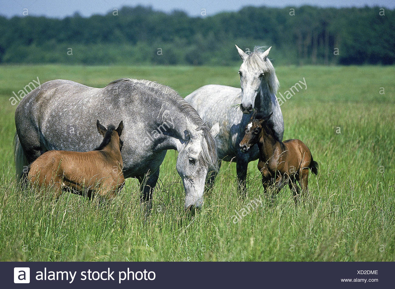 Lusitano horse,mares with foal,pasture, - Stock Image