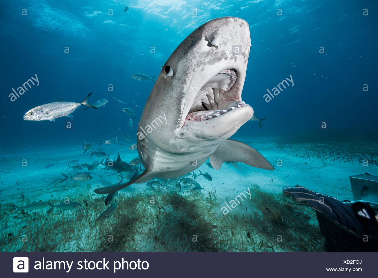 A tiger shark at Tiger Beach in the Bahamas. - Stock Image