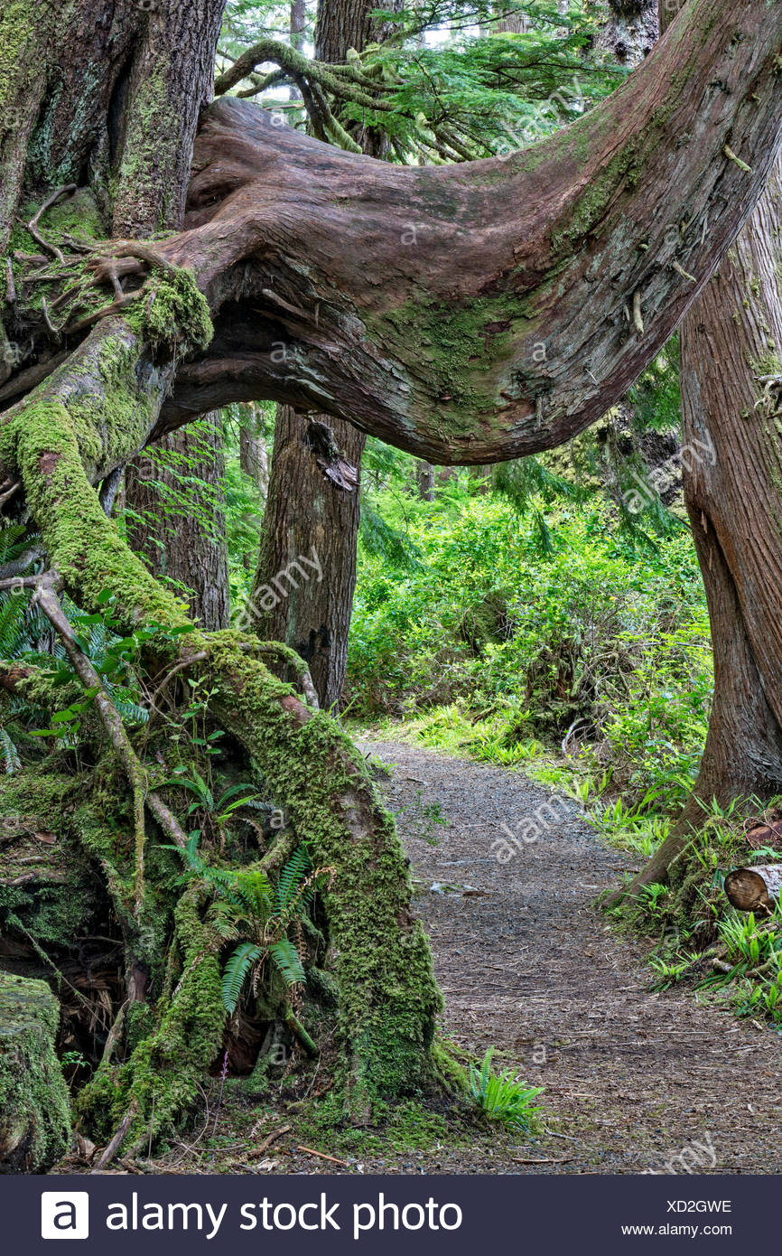 Path leading under a nursing tree in a rain forest, Cape Scott Provincial Park, Vancouver Island, British Columbia, Canada - Stock Image
