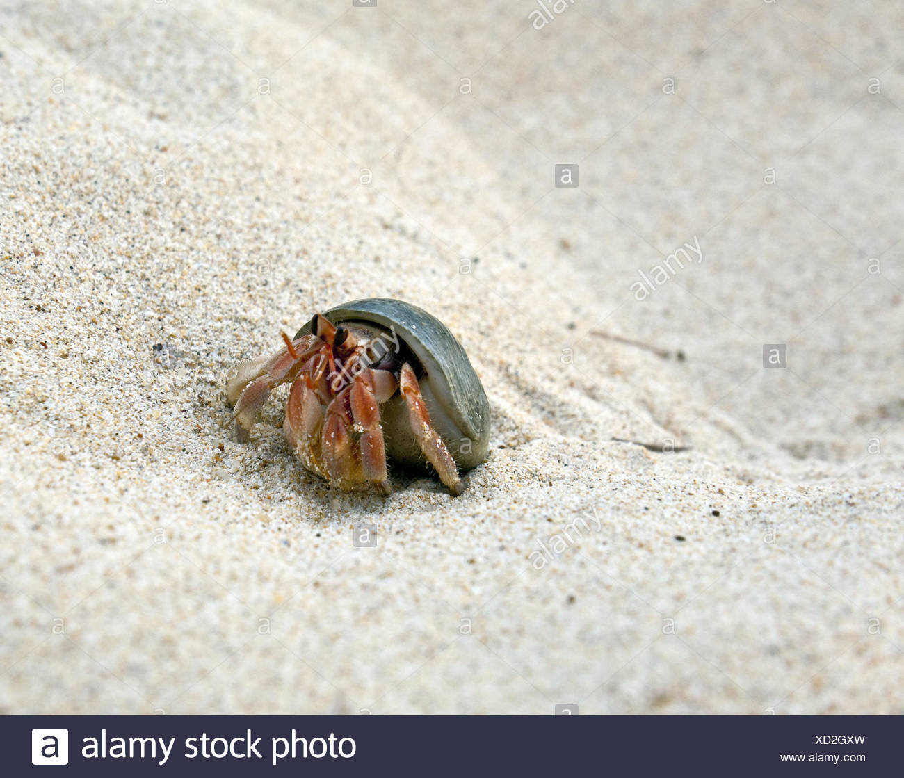 Beach, hermit crab, Asia, Thailand, outside, fauna, cancer, crustaceans, South-East Asia, animal, shellfish, beach, sandy beach, - Stock Image