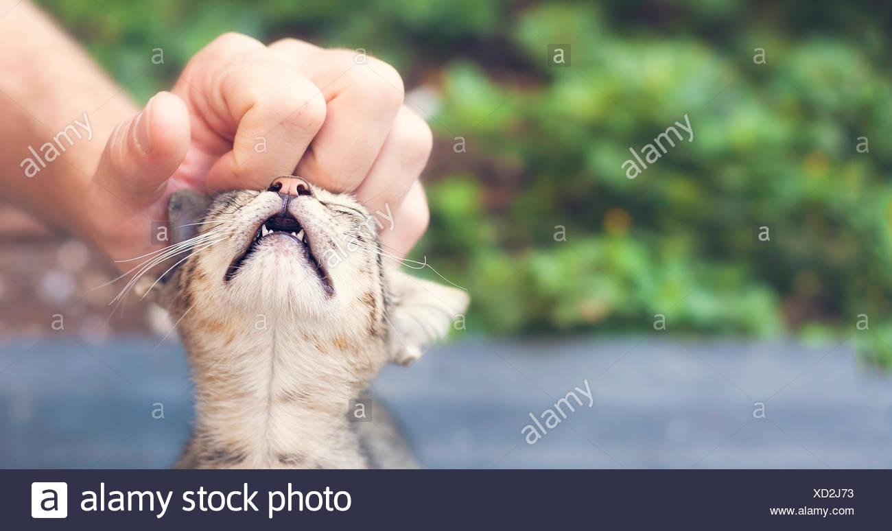 spoilt cat enjoying a helping hand - Stock Image