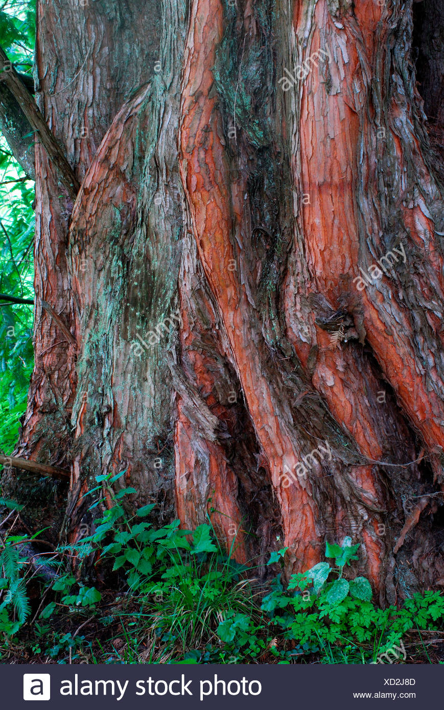 Dawn Redwood - Stock Image