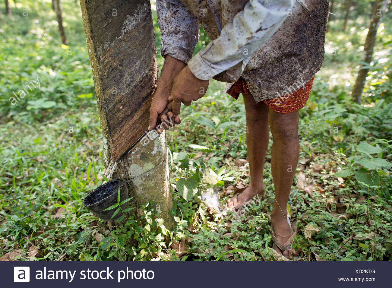 Man making an incision on a Rubber Tree (Hevea brasiliensis), on a natural rubber plantation, Peermade, Kerala, India - Stock Image