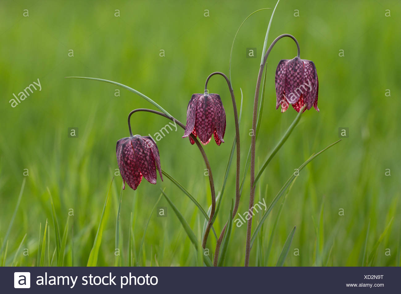 Nature, Flower, fritillary, snake's head guinea-hen flower, chess flower, Plantae, Liliales, Fritillaria meleagris, Switzerland Stock Photo