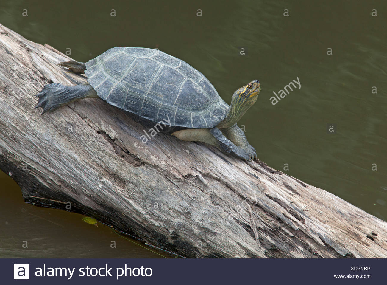 yellow-headed temple turtle basking on a tree above the water Stock Photo