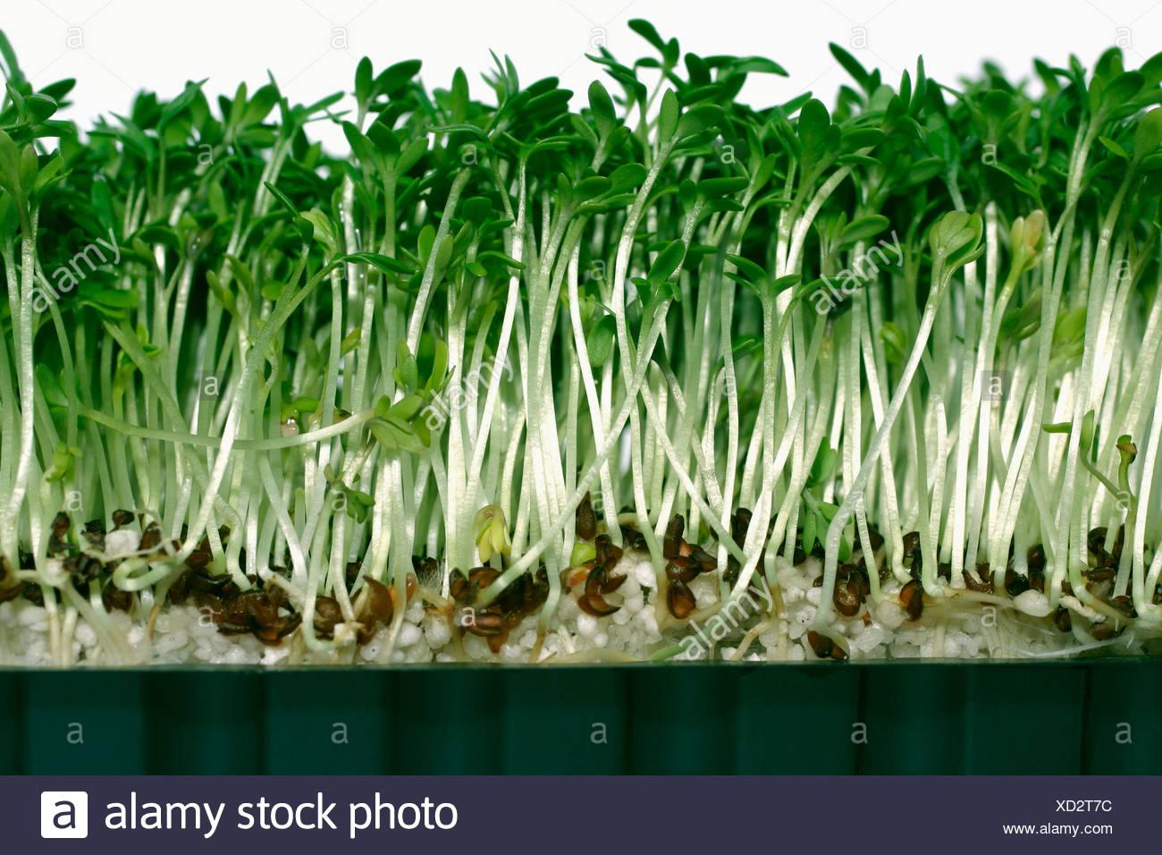 Watercress Lepidium villarsii close up Stock Photo