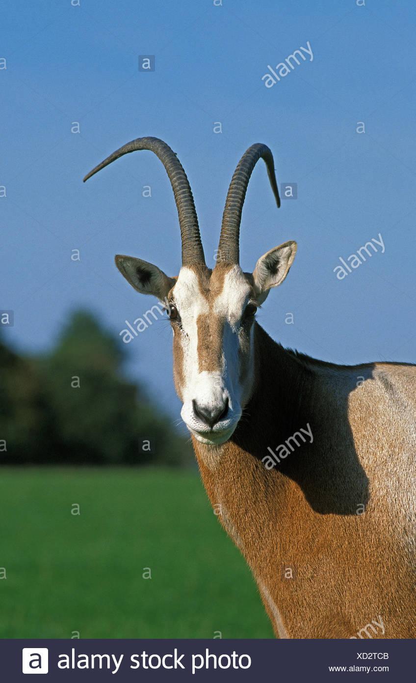Saber antelope,Oryx dammah,portrait,little man,kind,free hunting-ground,extinct, - Stock Image