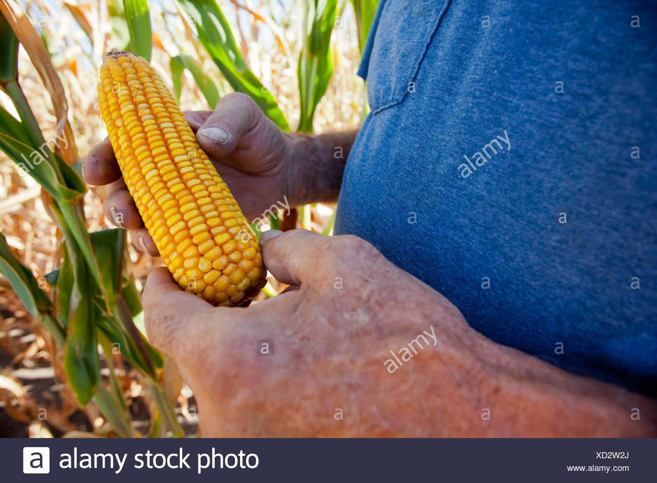 Farmer examining ear of corn - Stock Image