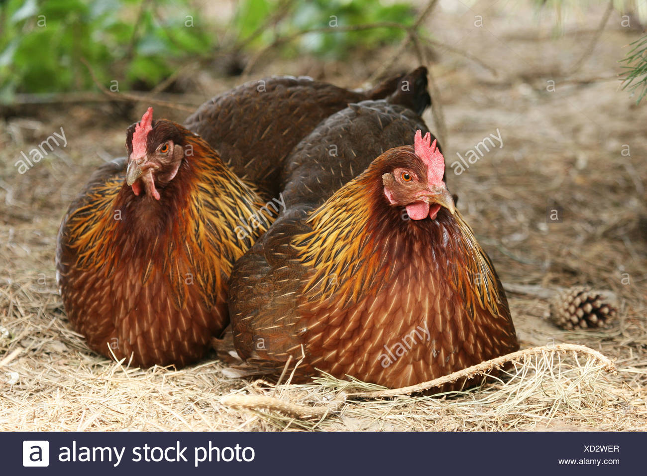 Welsum chicken, free range - Stock Image