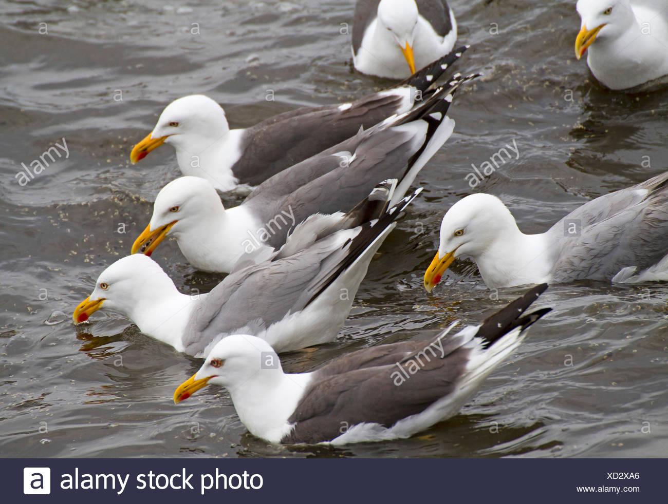 herring gull (Larus argentatus), herring gulls and lesser black-backed gulls swimming together, Europe, Germany, Schleswig-Holstein, Heligoland - Stock Image
