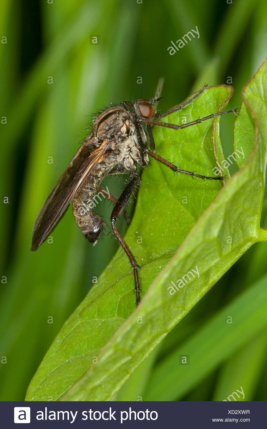 Dance fly, Dagger fly (Empis tesselata), on a grass blade, Germany - Stock Image