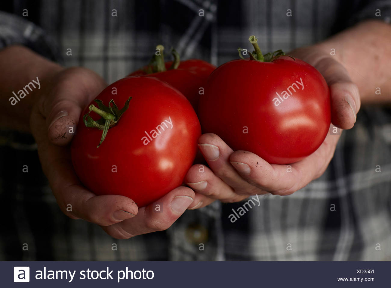 close up photograph of mans hands holding freshly picked, vine ripe red tomatoes, with dirt on his hands, wearing a black and gr - Stock Image