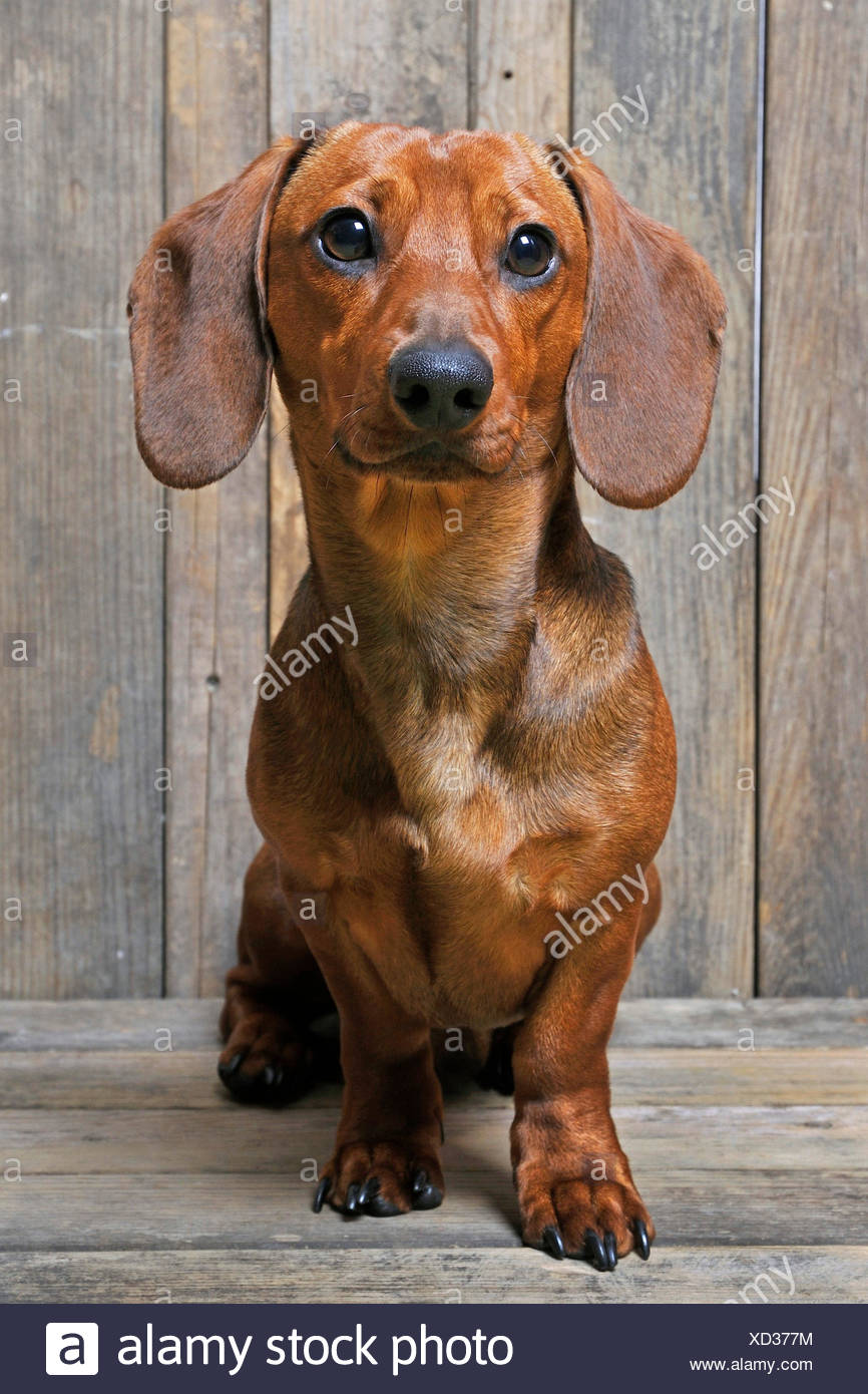 Short-haired Dachshund, Short-haired sausage dog, domestic dog (Canis lupus f. familiaris), male dog sitting on wooden boards - Stock Image