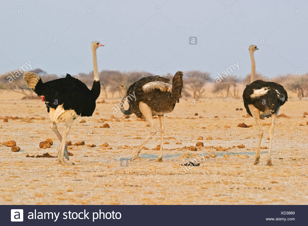 Ostrichs (Struthio camelus) courtships around a female osterich, Nxai Pan, Makgadikgadi Pans National Park, Botswana, Africa Stock Photo