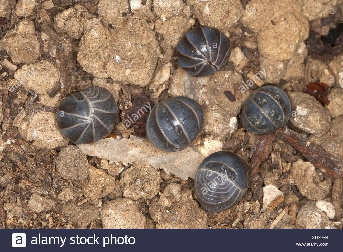 Mediterranean Oak-woodland pillbug (Armadillo officinalis, Armadillo invenustus; Armadillo officinarum; Cubaris invenustus; Pentheus invenustus), lying am Boden rolled up, Italy, Sicilia - Stock Image