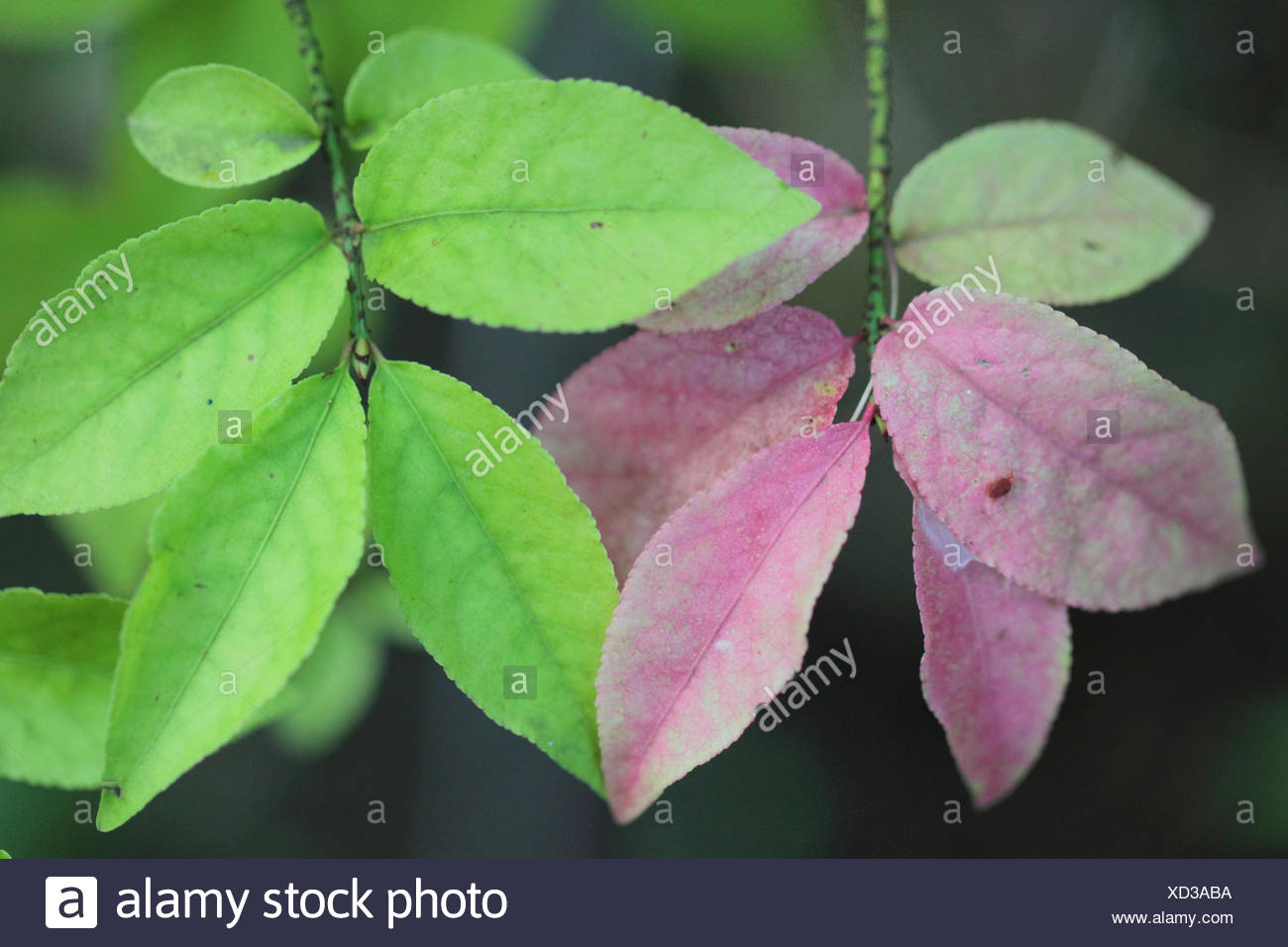 Close up of spindle, European spindle, or common spindle leaves, Euonymus europaeus, a species of flowering plant in the family Celastraceae, native to much of Europe. It is a deciduous shrub or small tree. - Stock Image