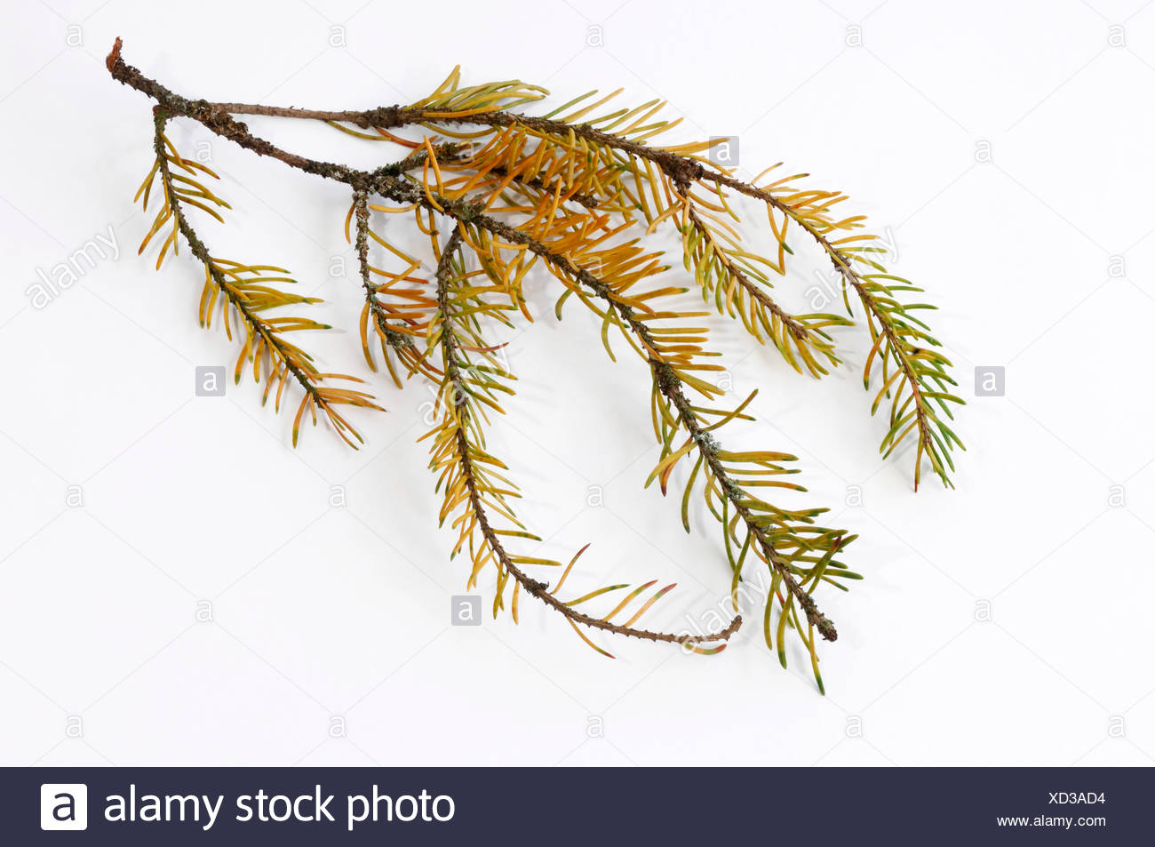 Norway Spruce, Common Spruce (Picea abies). Seriously damaged twig with fallen off needles and discoloration of needles. Studio picture against a white background. Germany - Stock Image