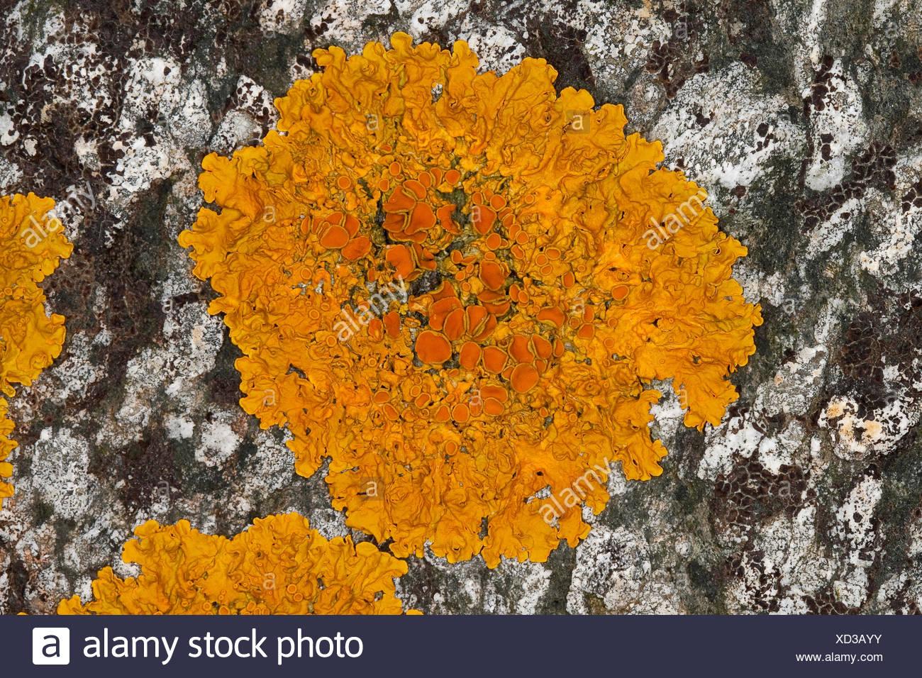 Common orange lichen, Yellow scale, Maritime sunburst lichen, Shore lichen, Golden shield lichen (Xanthoria parietina, Parmelia parietina), on a coastal rock of the Baltic Sea, Germany - Stock Image