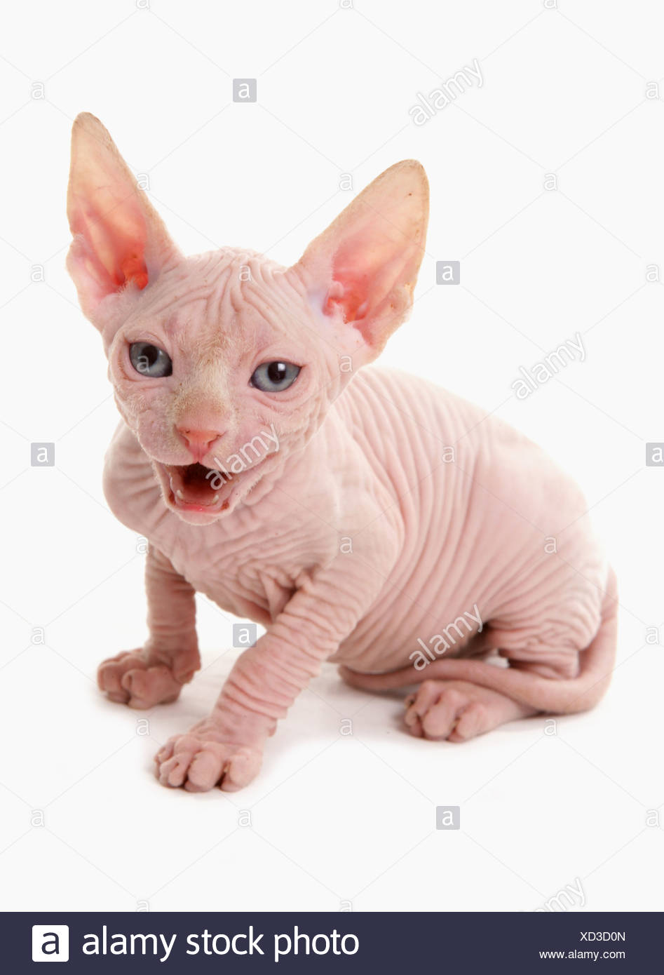 Domestic Cat, Sphynx, kitten, sitting and calling - Stock Image
