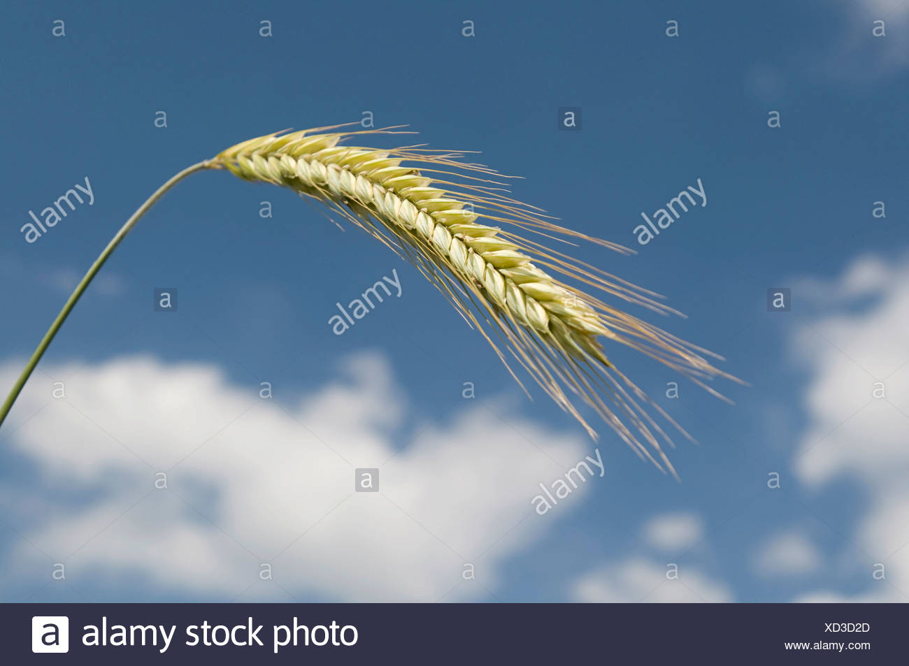 Ear of rye (Secale cereale) Stock Photo