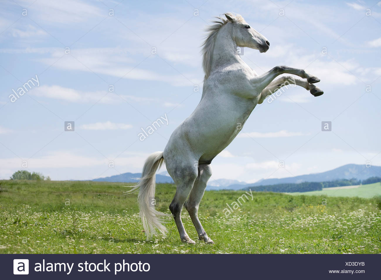White Horse Jumping On High Resolution Stock Photography And Images Alamy