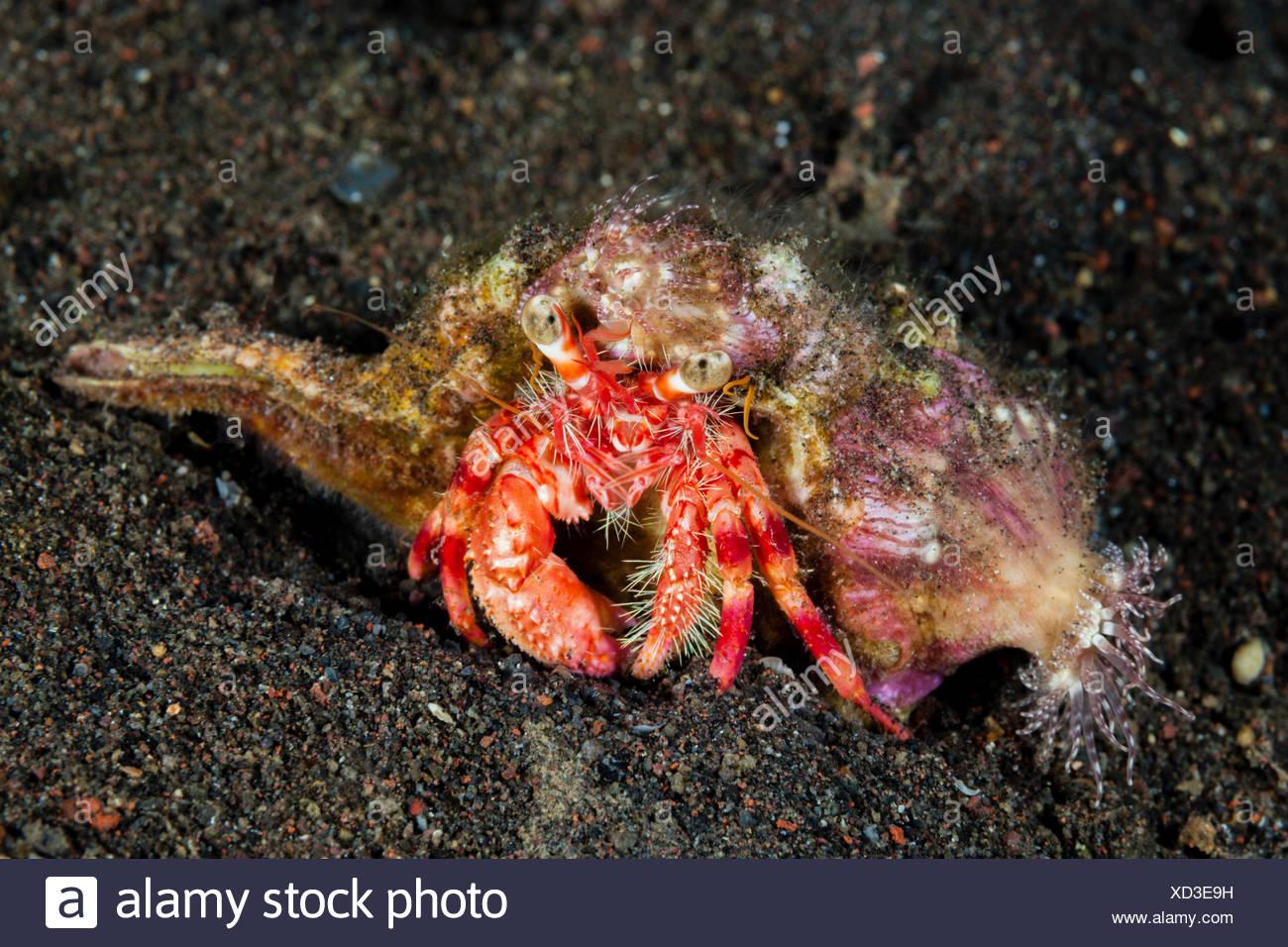 Anemone Hermit Crab, Dardanus pedunculatus, Bali, Indonesia - Stock Image