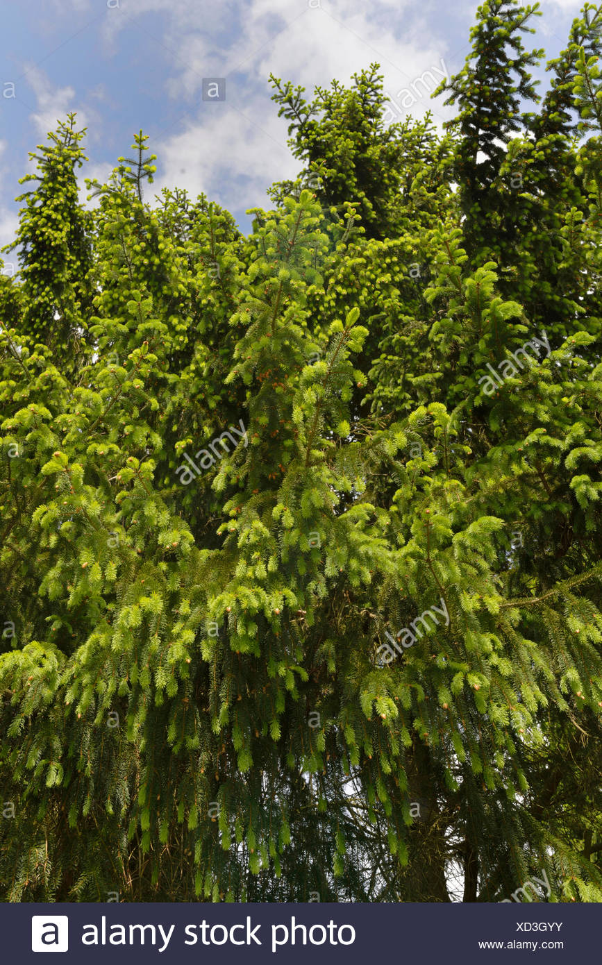 Spruce forest / (Picea abies) - Stock Image