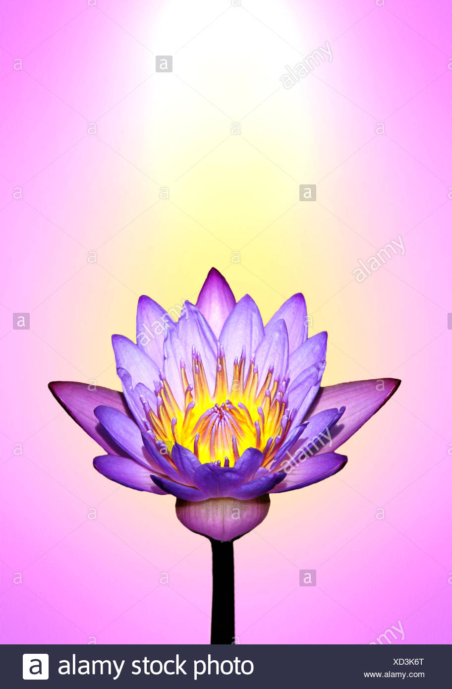 Lotus flower colours gallery flower decoration ideas field of lotus plants stock photos field of lotus plants stock lotus flower with energy colours izmirmasajfo