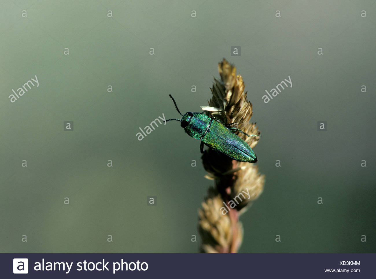 Oak Borer Agrilus angustulus, Buprestoidae, beatle, Provence, France, insects - Stock Image