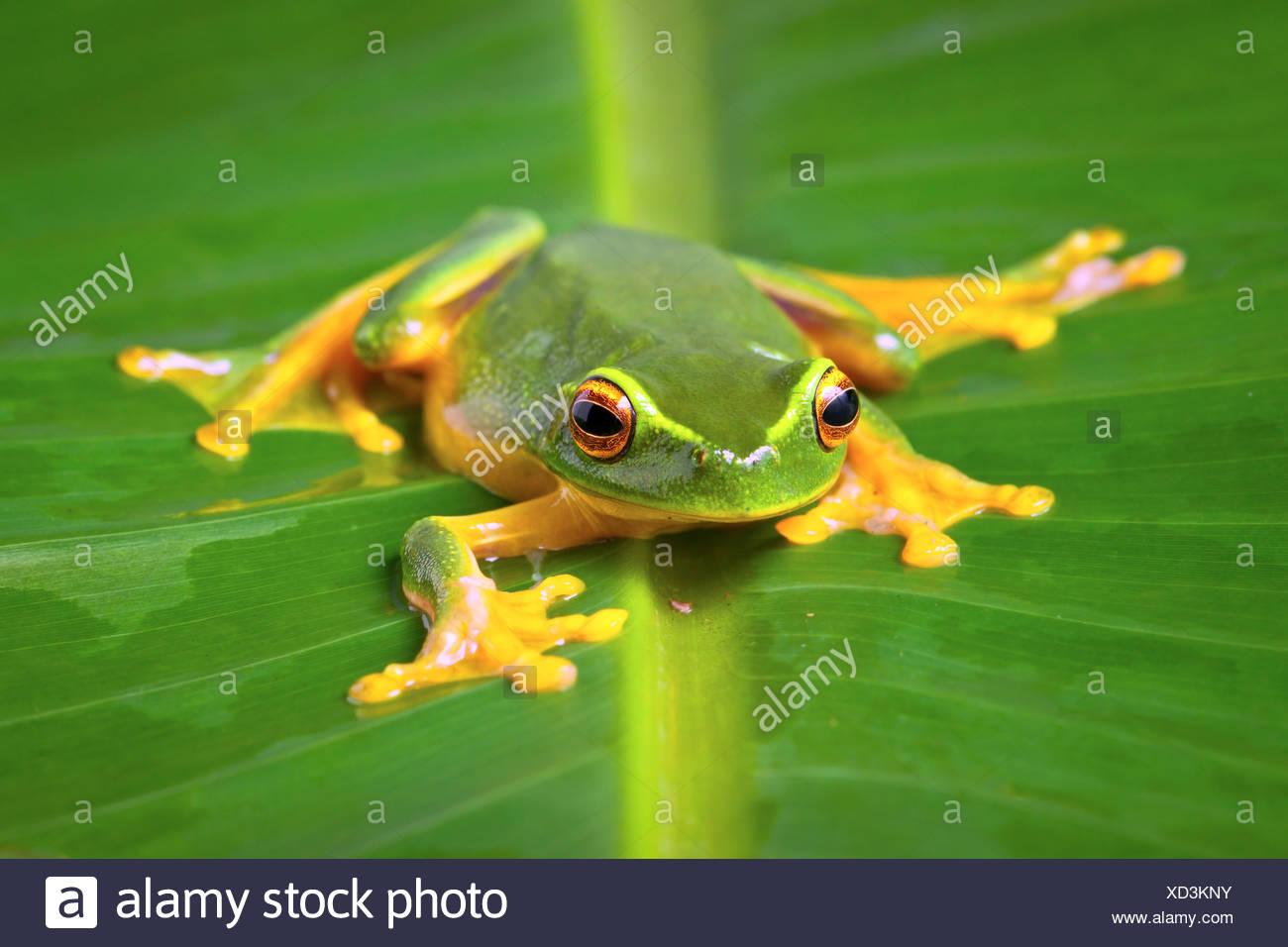 Beautiful Orange thighed tree frog, Litoria zanthomera, sitting on a leaf looking at camera - Stock Image