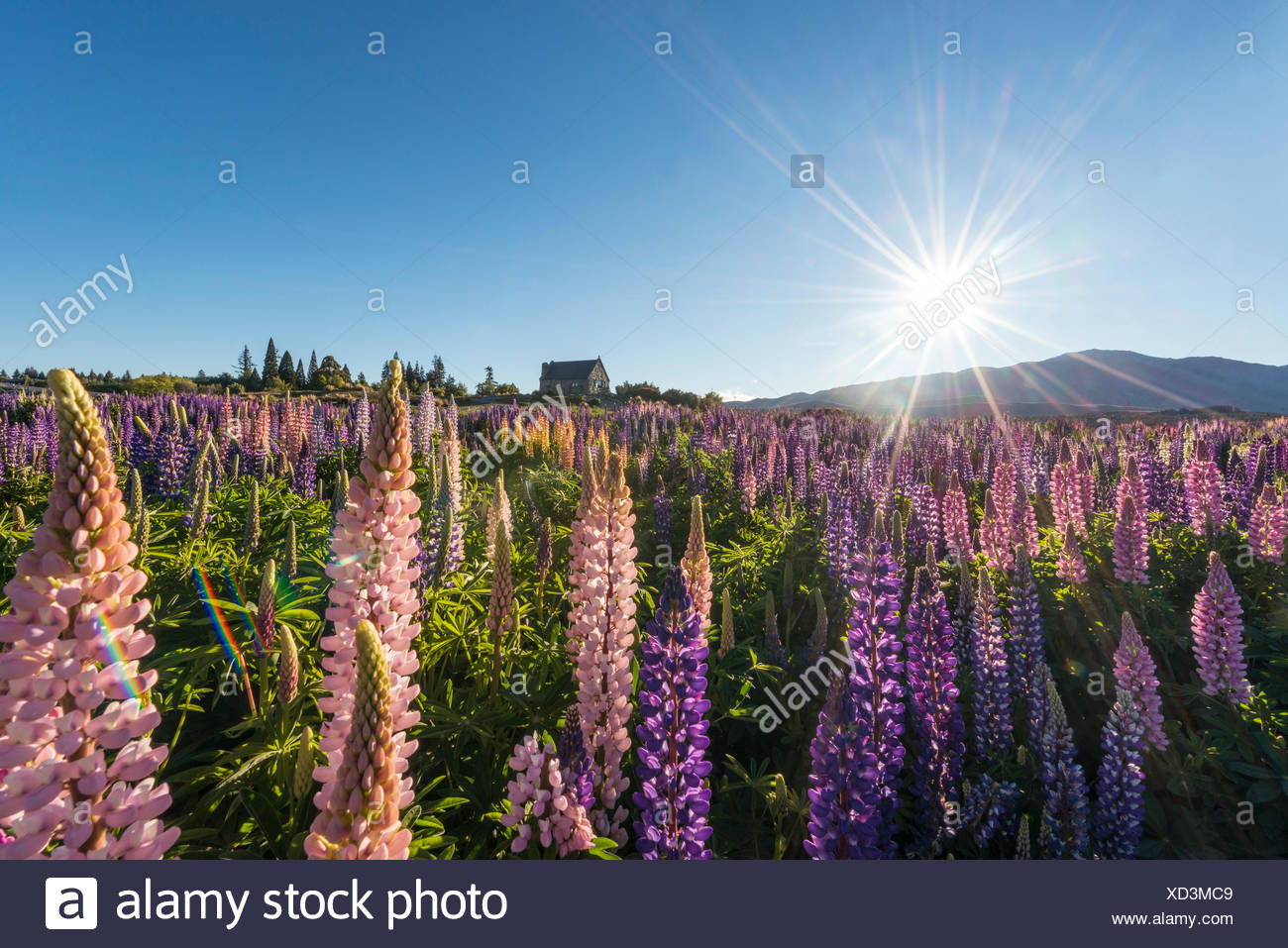 Sun shining through purple Large-leaved lupines (Lupinus polyphyllus), sunstern, Church of the Good Shepherd, Lake Tekapo - Stock Image