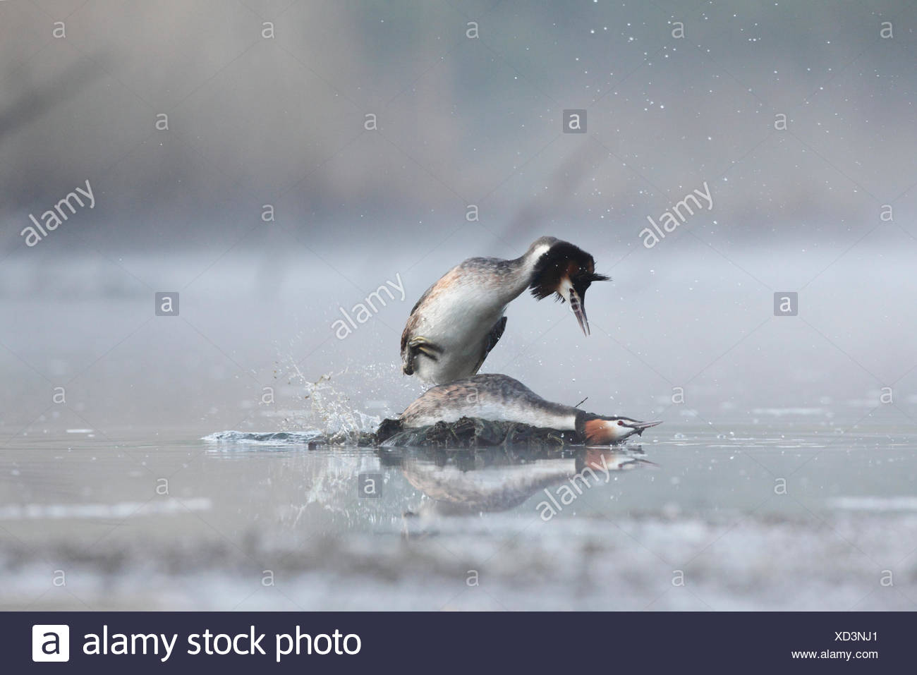 Great Crested Grebes mating on water-Offendorf Alsace France - Stock Image
