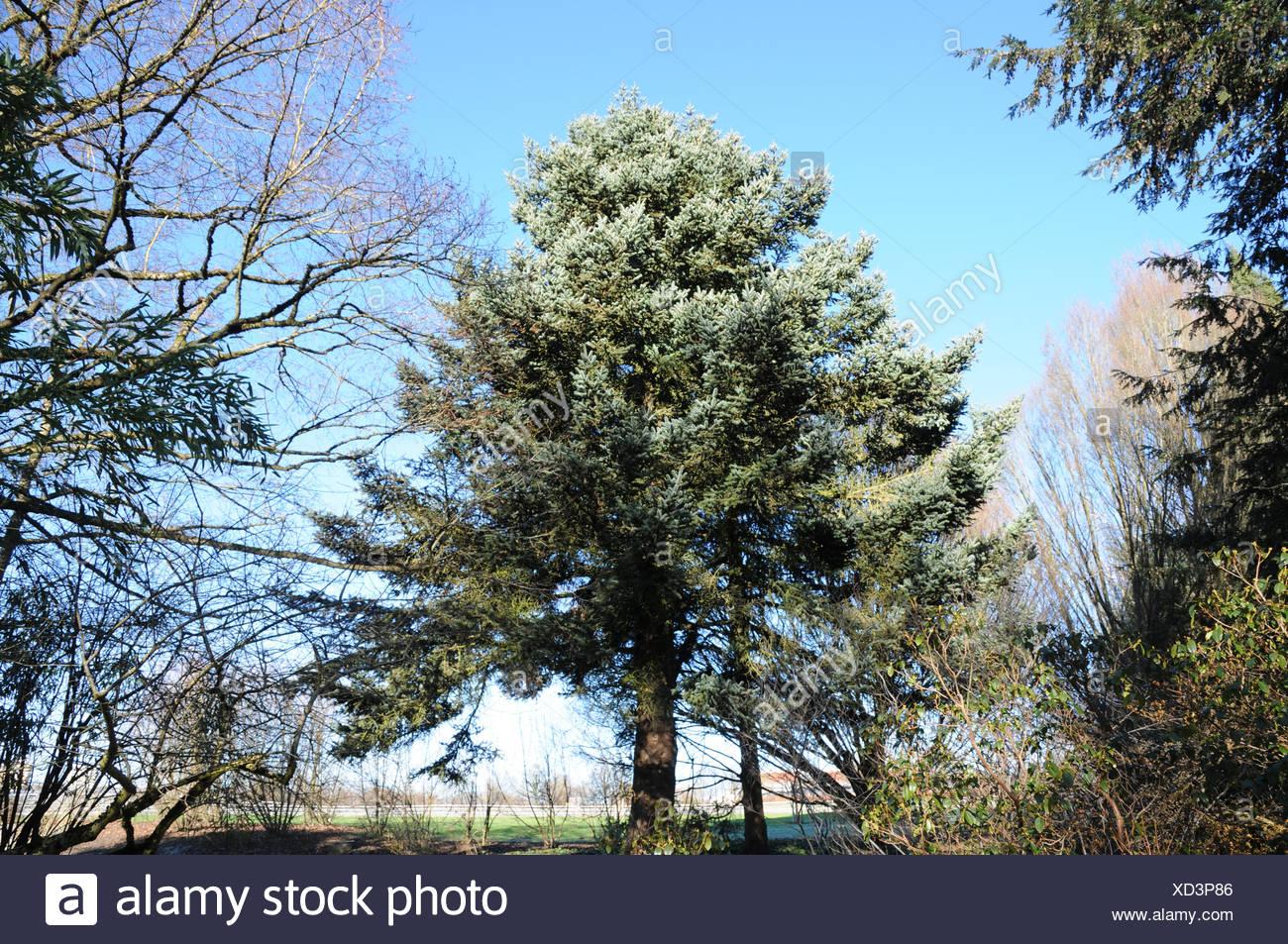Greek fir - Stock Image