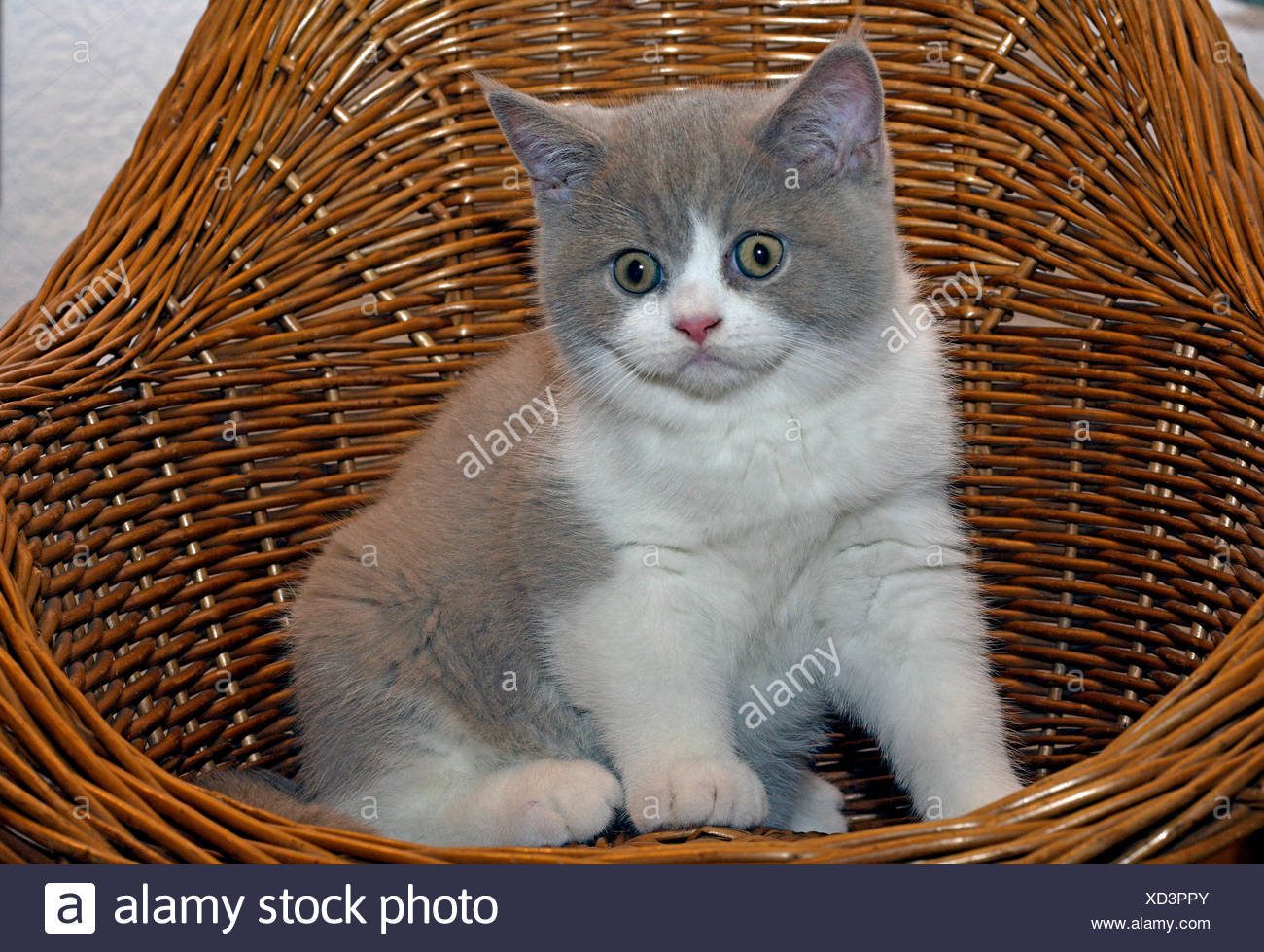 British Shorthair Felis Silvestris F Catus Eleven Month Old Kitten In Fawn Tortie White Sitting In A Basket Chair Stock Photo Alamy