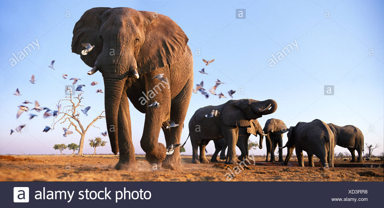 Elephants with birds Savuti Northern Botswana Stock Photo