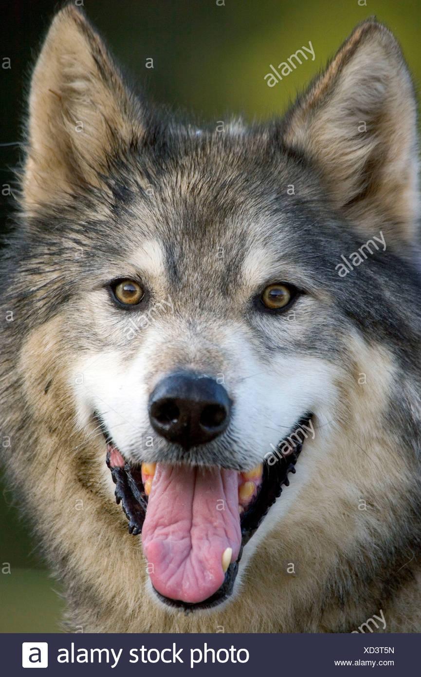 wolf mix stock photo 283441249 alamy
