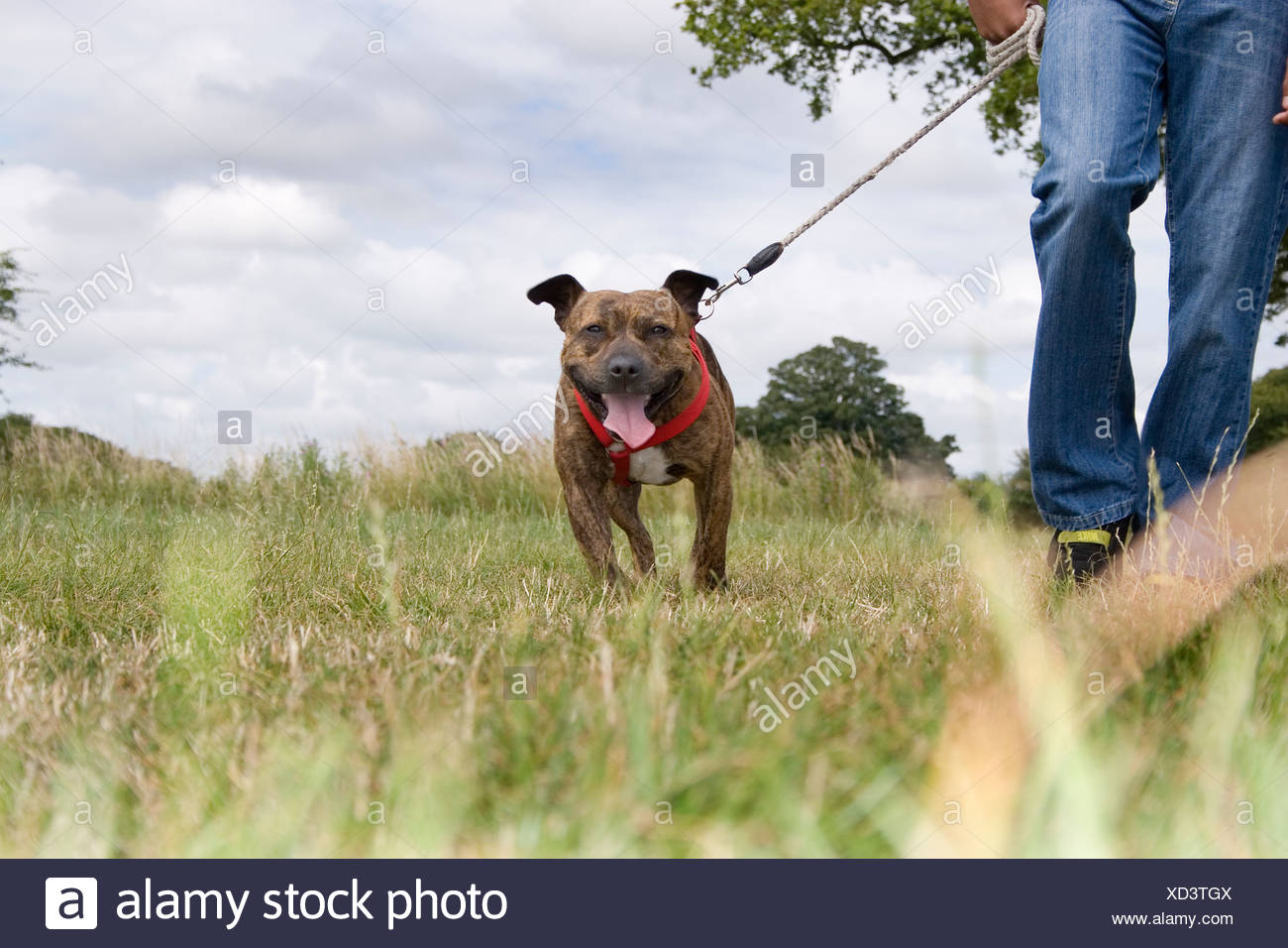 teenage mixed race boy with staffordshire bull terrier in countryside - Stock Image