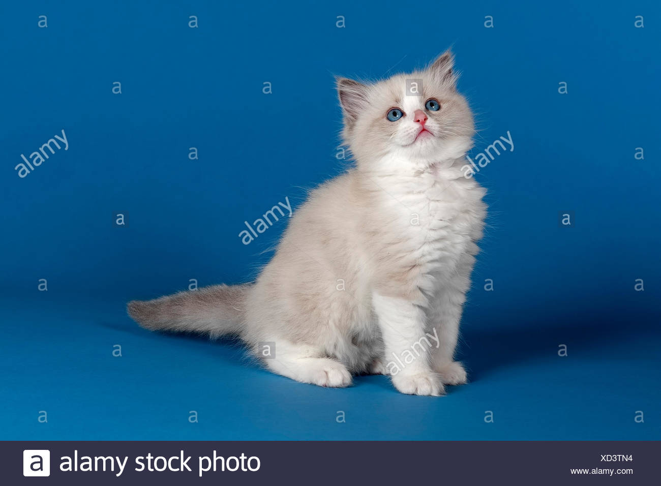 Ragdoll cat, kitten, 9 weeks, blue, bicolour Stock Photo