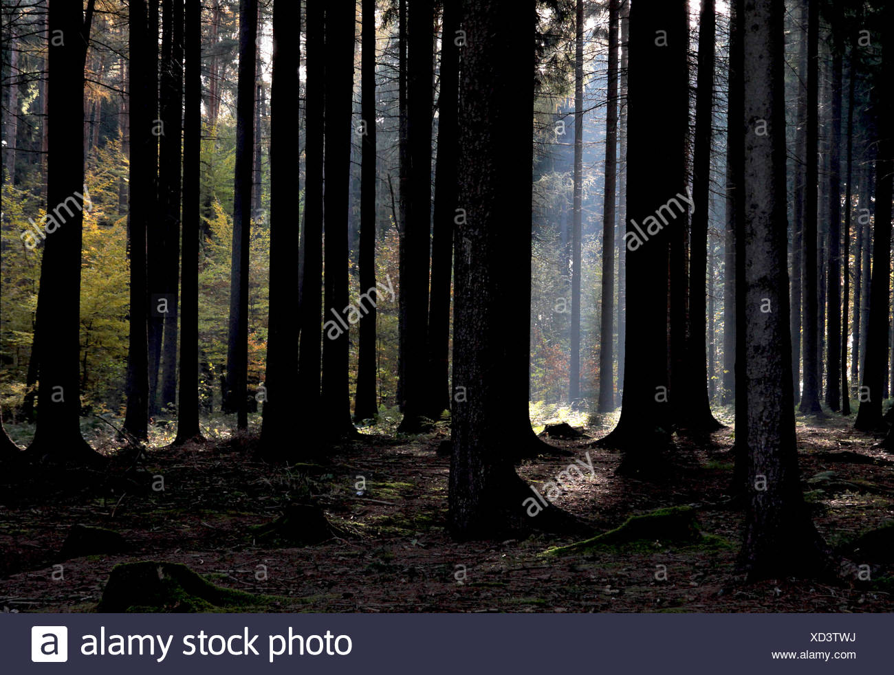 Forest Light - Stock Image